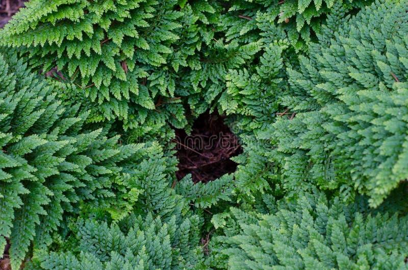 Helecho de escudo suave - Polystichum Setiferum Plumosum Densum foto de archivo libre de regalías