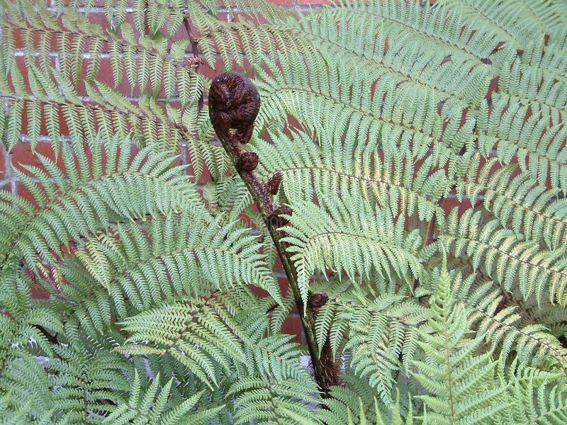 Helecho de Punga imagenes de archivo