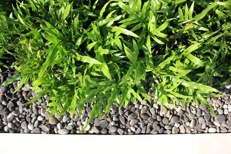 Helecho del scolopendria de Microsorum en un jardín moderno fotografía de archivo libre de regalías