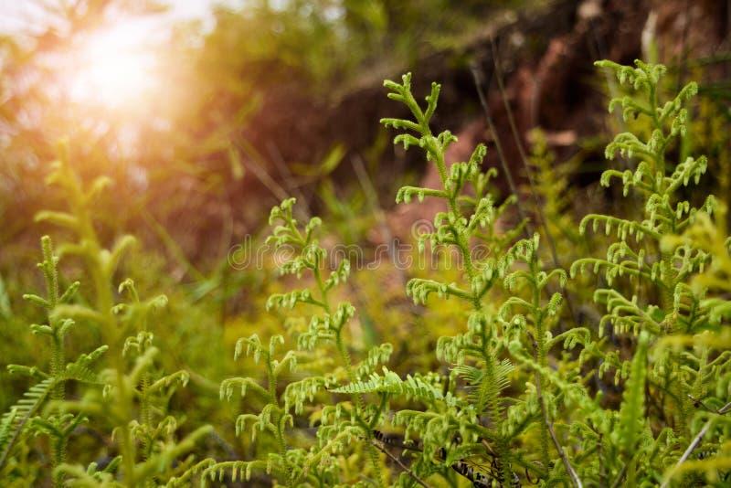 Helecho hermoso en la selva en Asia foto de archivo
