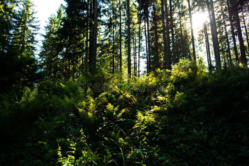 Helecho iluminado por el sol en bosque imagenes de archivo