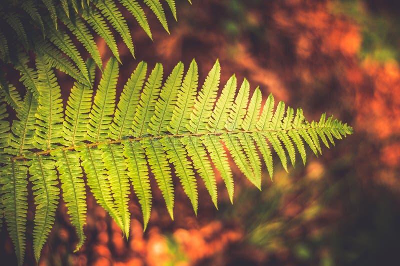 Helecho natural verde hermoso en fondo marrón El papel pintado con el helecho se va, bokeh hermoso del bosque imagen de archivo libre de regalías