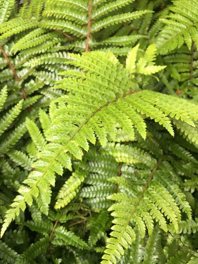 Helecho verde imagen de archivo