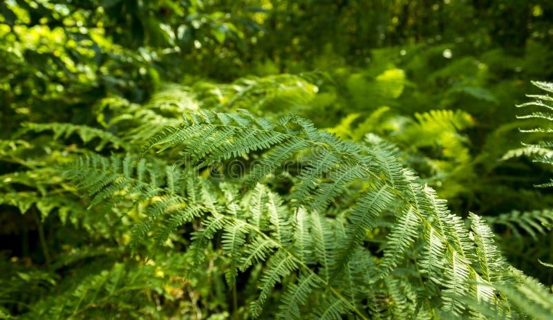 Helecho verde en bosque con el fondo borroso foto de archivo libre de regalías