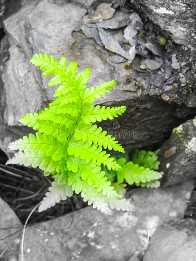 Helecho verde en pizarra fotos de archivo libres de regalías