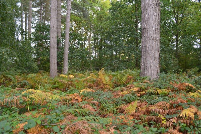 Helechos coloridos del otoño en piso del bosque fotografía de archivo