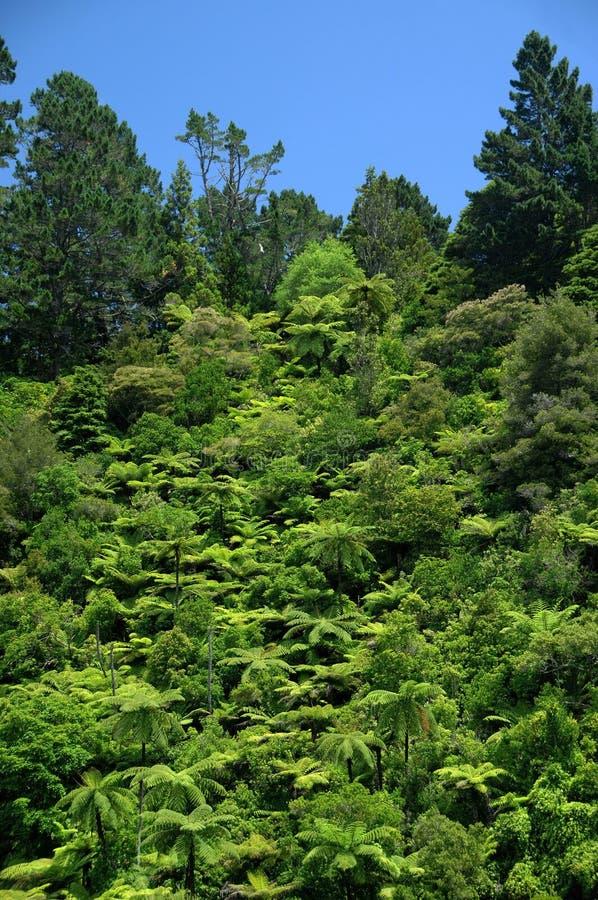 Helechos de árbol tropicales foto de archivo