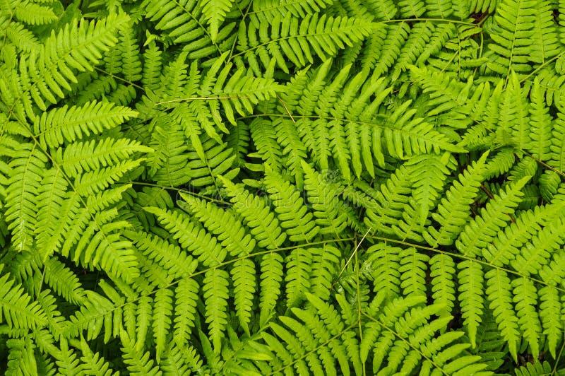 Helechos de Braken que crecen en el Understory de un pino rojo Forest In The Adirondack Mountains del Estado de Nueva York imagenes de archivo