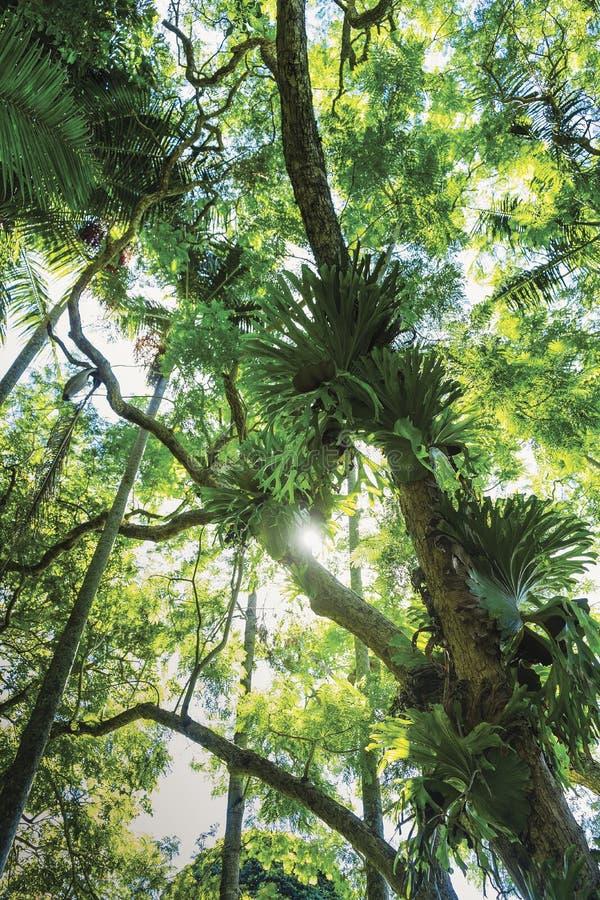 Helechos del cuerno del macho en árbol fotografía de archivo libre de regalías