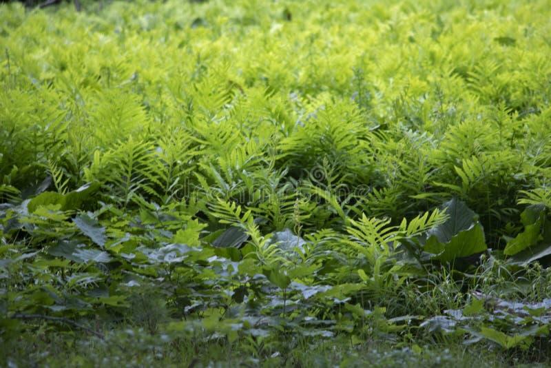 Helechos en el pantano imagen de archivo