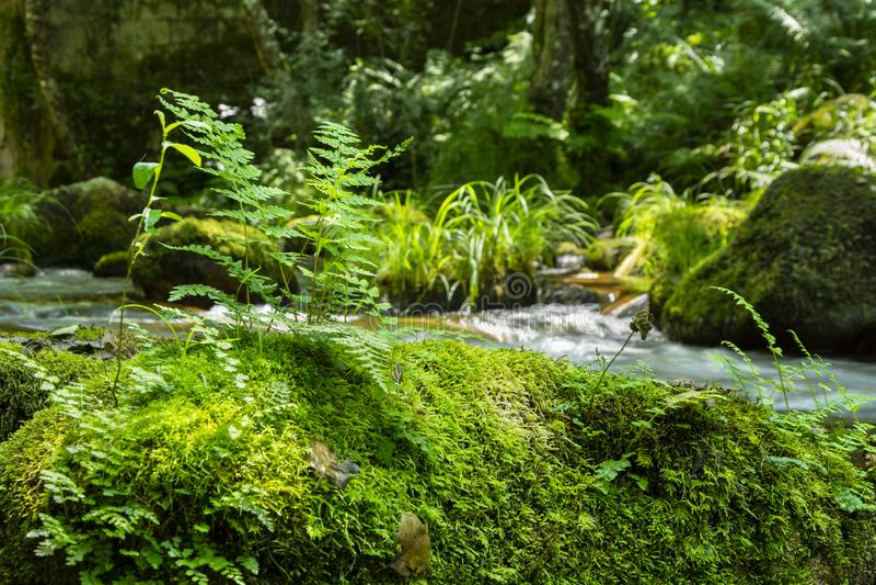 Helechos en el topo de una roca con el musgo y el bosque verdes y de la corriente en el fondo imágenes de archivo libres de regalías
