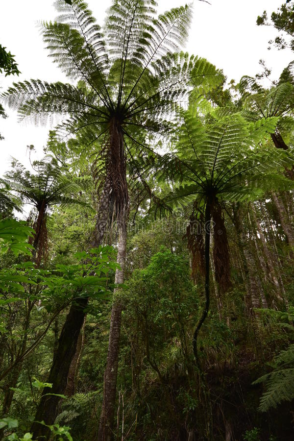 Helechos gigantes en Nueva Zelanda nativo arbusto imagenes de archivo