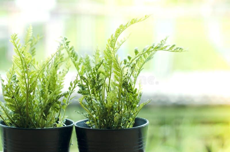 Helechos, hojas del verde en potes negros imágenes de archivo libres de regalías
