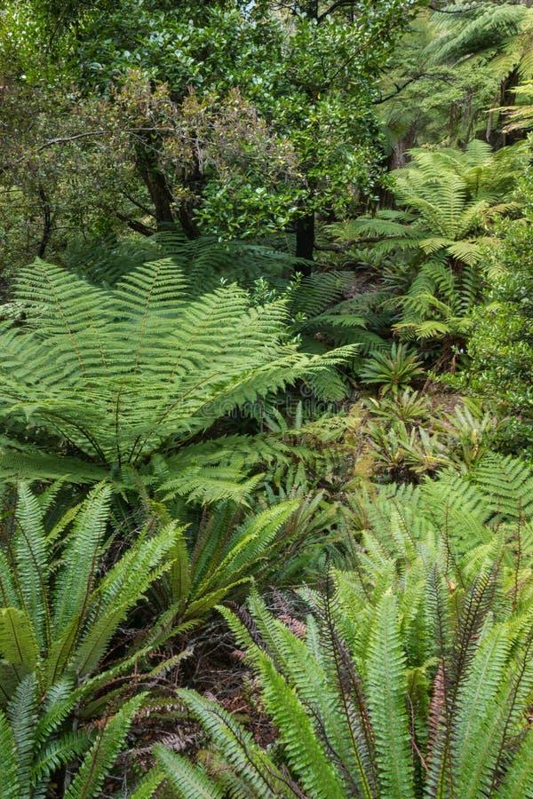 Helechos que crecen en la selva tropical templada de Nueva Zelanda imagen de archivo
