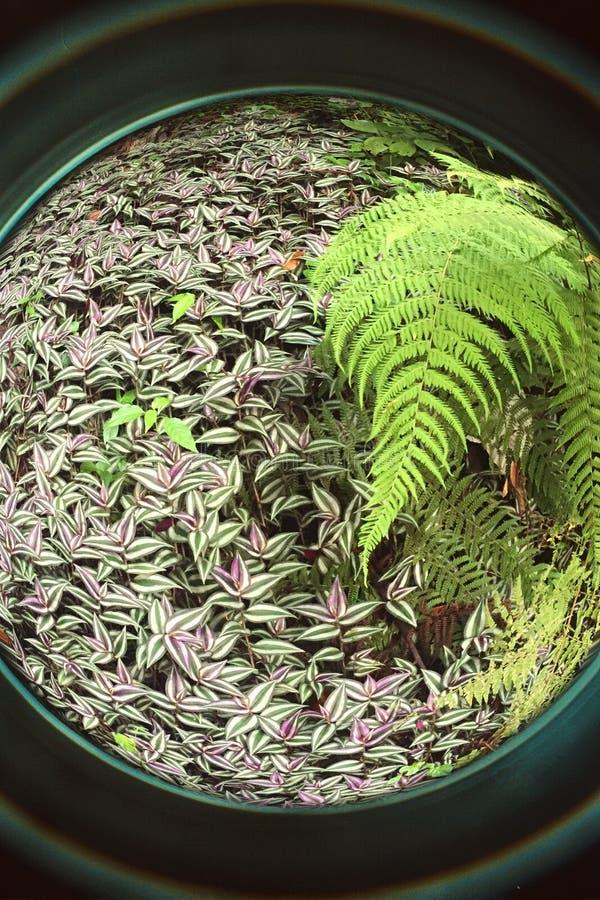 helechos salvajes del ojo de pescados y en Forest Puerto tropical RIco fotos de archivo
