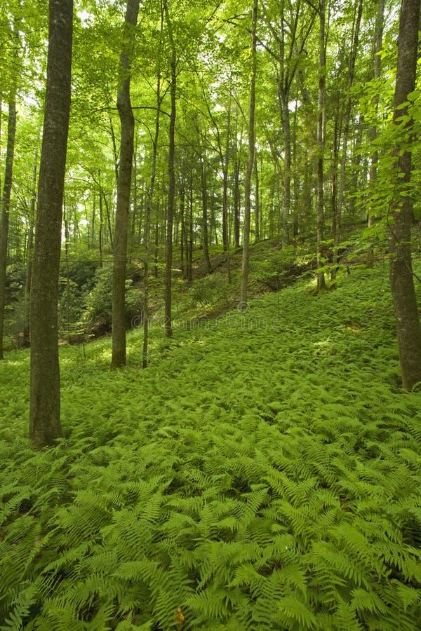Helechos y bosque, área rosada de las camas, Pisgah N-F foto de archivo libre de regalías