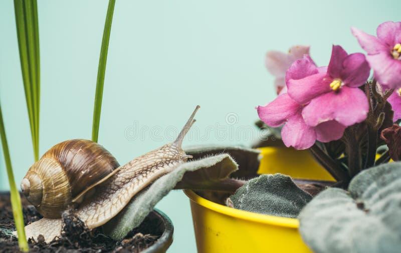 Helend slijm Schoonheidsmiddelen en slakslijm Leuke slak dichtbij groene installatie Natuurlijke remedies Aanbiddelijke slak dich stock foto