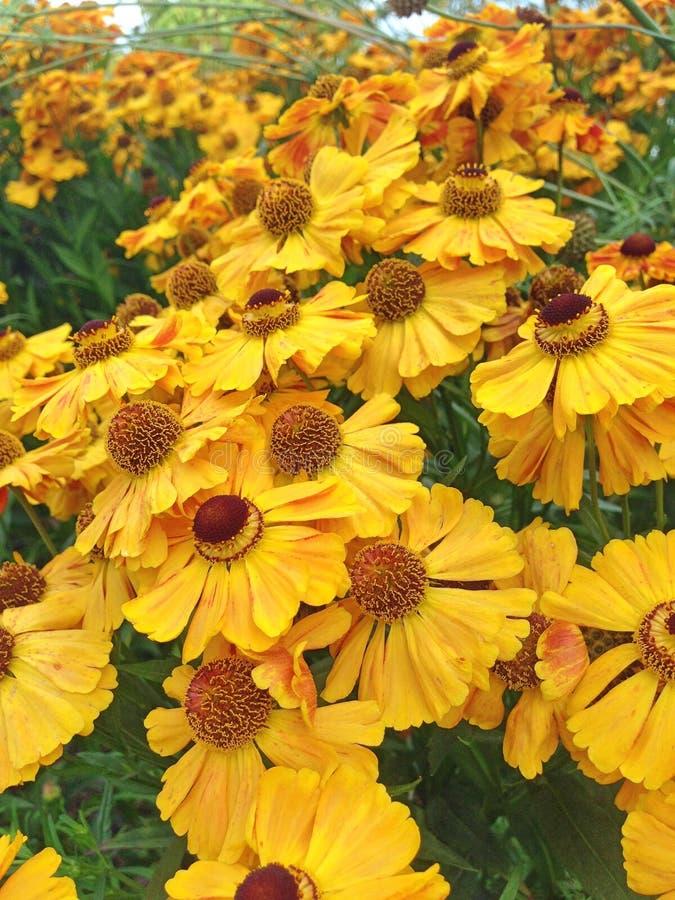 Helenio amarillo brillante Flores de otoño en otoño fotos de archivo libres de regalías
