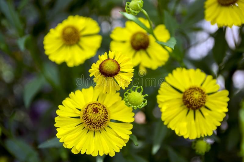 Helenio común del autumnale del Helenium en la floración, manojo de flores amarillas, alto arbusto con las hojas fotos de archivo