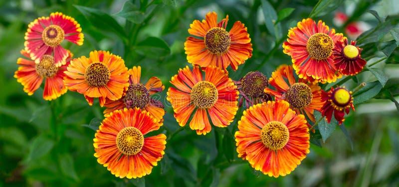 Helenium anaranjado brillante de las flores en el jardín en el flowerbed_ fotos de archivo libres de regalías
