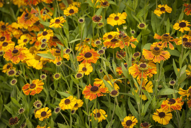 Download Helenium Flowers stock photo. Image of sneezeweed, grown - 35924784