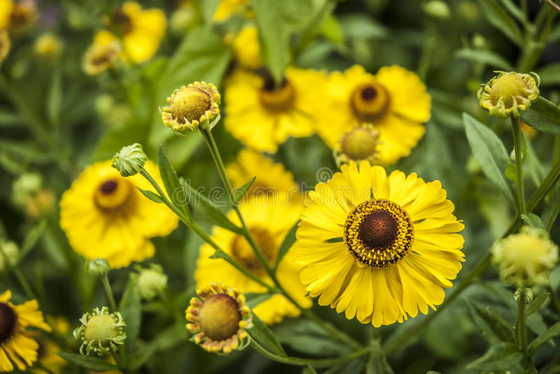 Download Helenium Flowers stock image. Image of summer, plant - 35676287