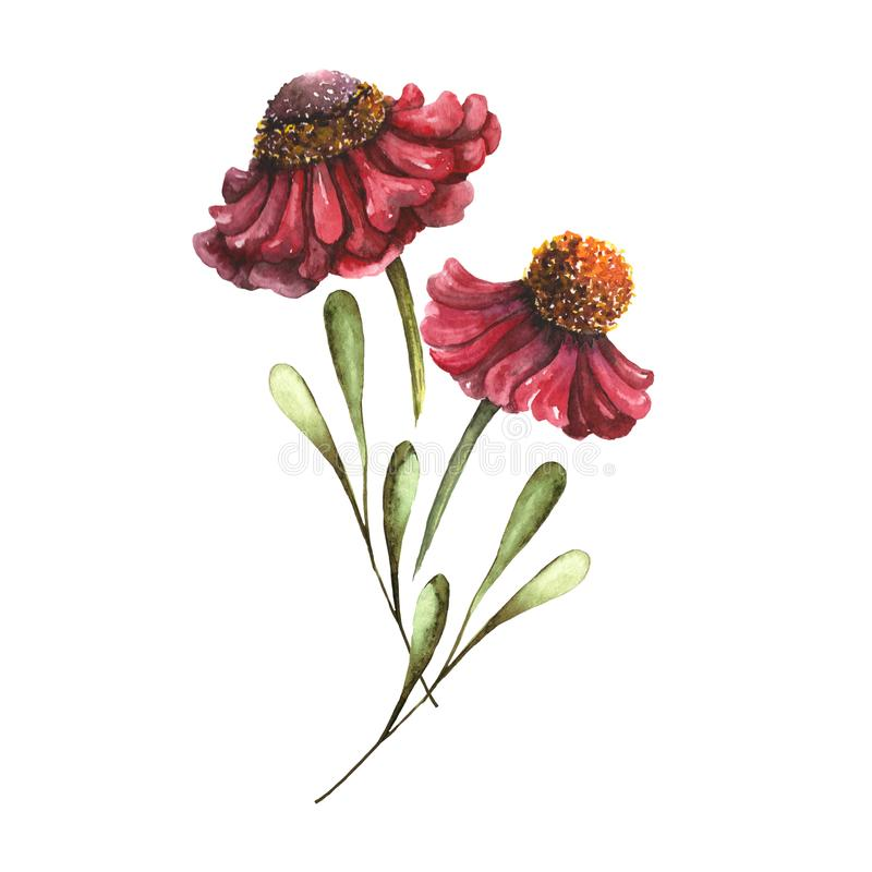Helenium Flowers Handdrawing Watercolor Illustration for Autumn Design vector illustration