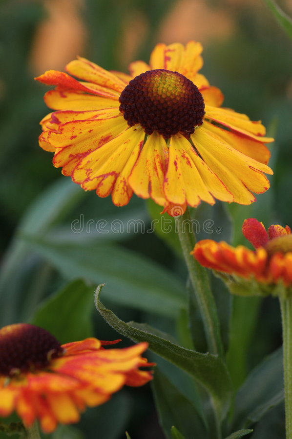Helenium Mardis Gras. Common Name: Helens Flower, Sneezeweed Showy bright orange-coloured flowers streaked with red and dark maroon eye against blurred green royalty free stock image