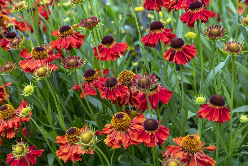 Helenium Moerheim Beauty is a daisy like flowering plant popular in summer gardens. Orange daisy like flowers Helenium Moerheim Beauty in a meadow royalty free stock images