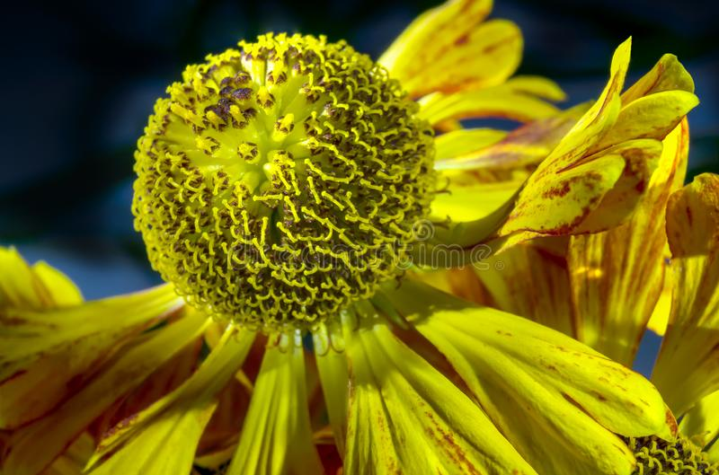 Blooming Helenium stock images