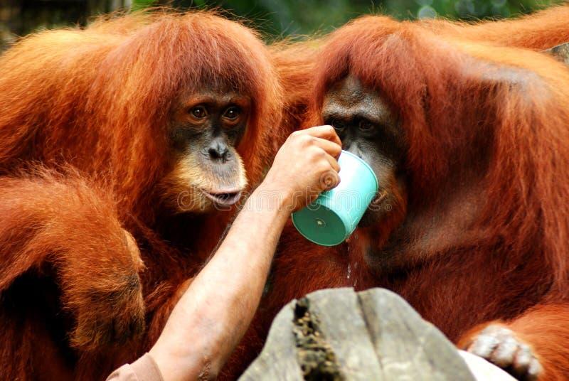 helfende Hand - orang utans lizenzfreie stockbilder