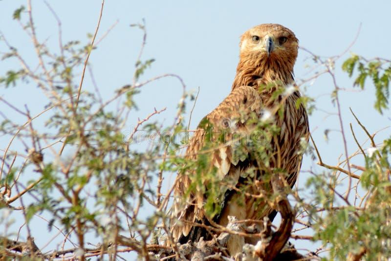 Heliaca impérial oriental d'Eagle - d'Aquila photo libre de droits