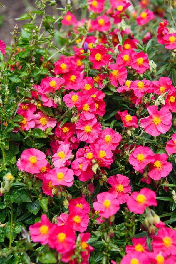 Helianthemum watergate ruby pink stock image