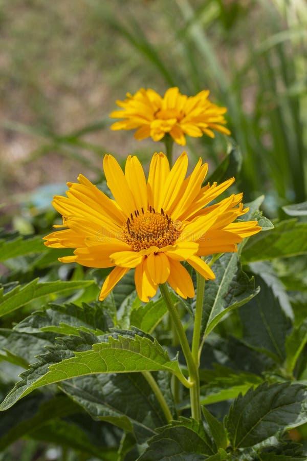 Helianthoides ложный солнцецвет Heliopsis, глаз вола Цветок желтого сада декоративный семьи астры стоковое фото rf