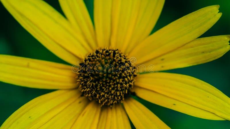 Helianthoides del Heliopsis un fondo amarillo de la flor Primer perenne imagen de archivo