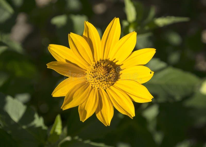 Helianthoides gialli di Heliopsis del fiore di estate fotografia stock