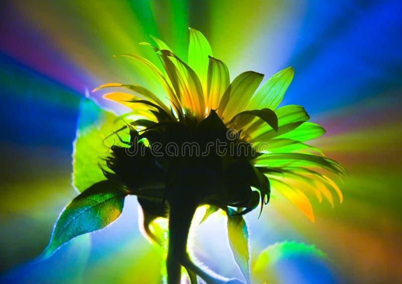 helianthus fotografering för bildbyråer