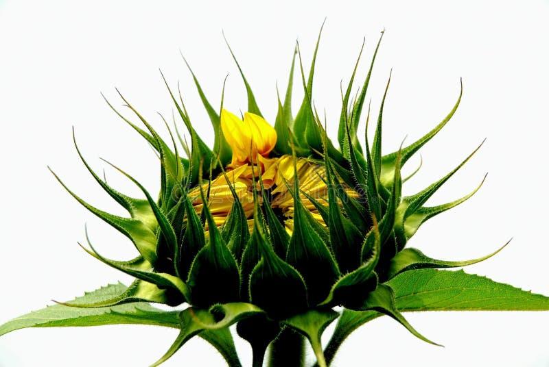 Helianthus Annuus stock photo