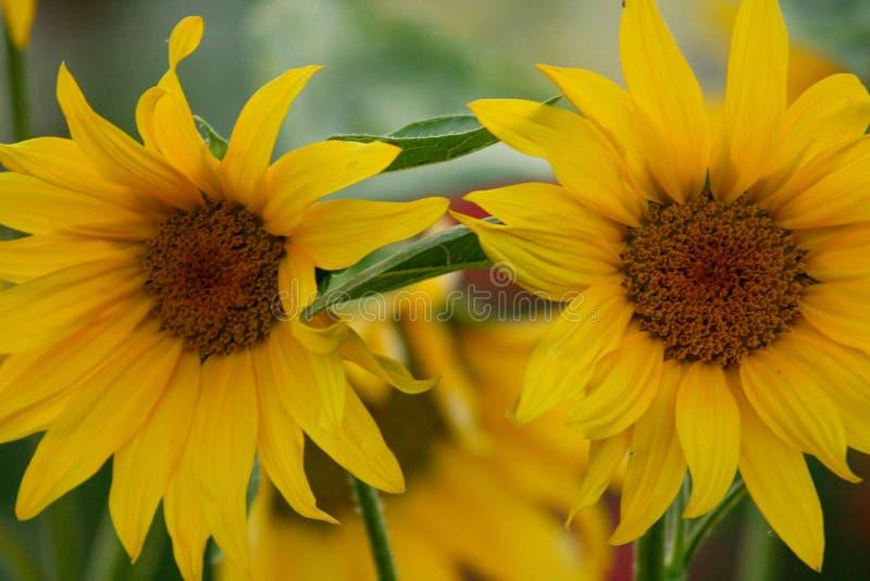 Helianthus annuus bonito dos girassóis no por do sol fotografia de stock