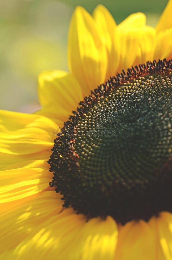 Helianthus annuus, in der Nähe einer Sonnenblume lizenzfreie stockbilder