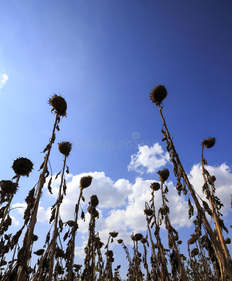 Helianthus Annuus. Group of dried sunflowers in K?rklareli, Thracia, Turkey royalty free stock images