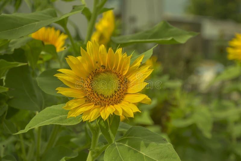 Helianthus annuus L flores de la floración fotografía de archivo libre de regalías