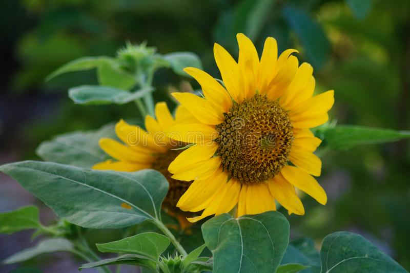 Helianthus Annuus in the Philippines. A Sunflower Helianthus Annuus in Camarines Sur Philippines stock photo