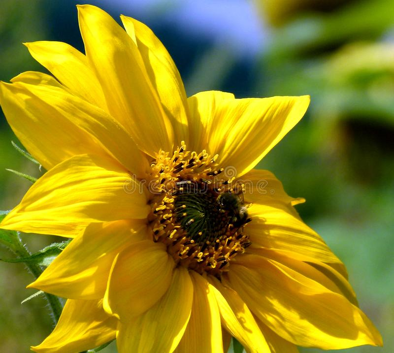 Single sunflower in the foreground with blurred sunflowers as a background royalty free stock images