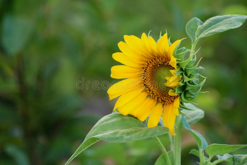 Helianthus Annuus. A Sunflower Helianthus Annuus in Camarines Sur Philippines stock photo