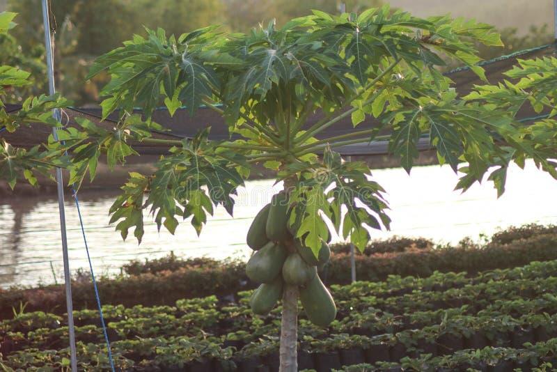 Helianthus Annuus. A Sunflower Helianthus Annuus in Camarines Sur Philippines stock photography