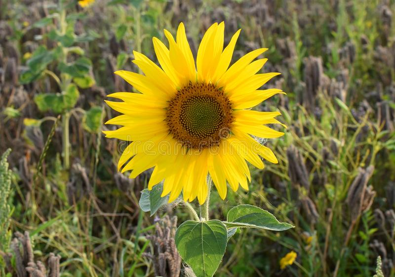 Helianthus. Beautiful young sunflower growing in the field at sunset. stock image