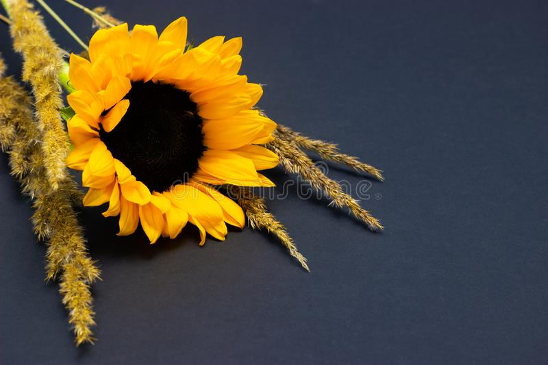 Helianthus, bright yellow sunflower with cereals on a dark background floral background royalty free stock image