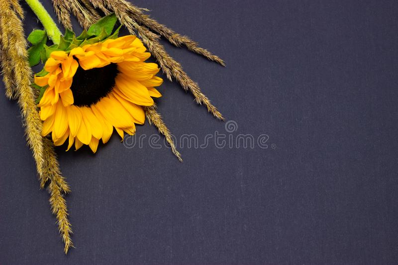 Helianthus, bright yellow sunflower with cereals on a dark background floral background stock images