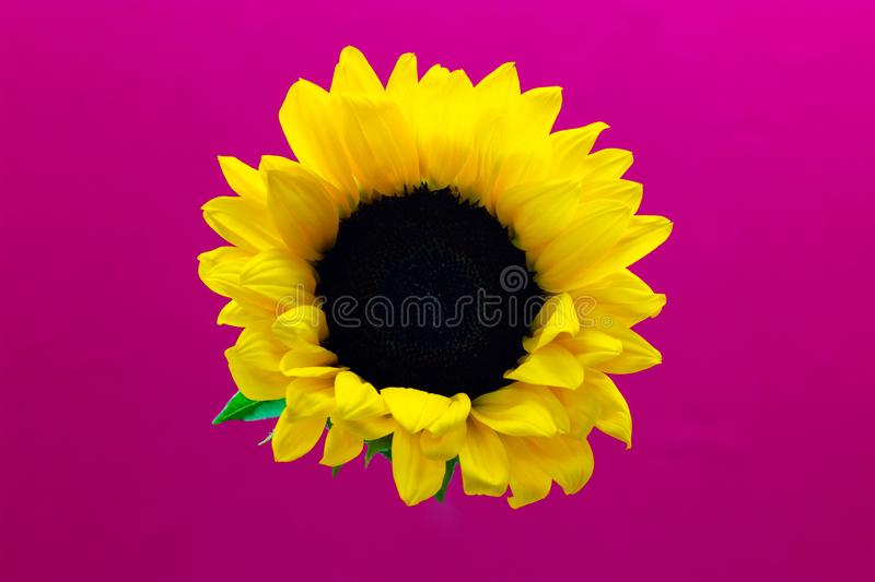 Helianthus, decorative flower of a sunflower on a pink background floral background stock photos